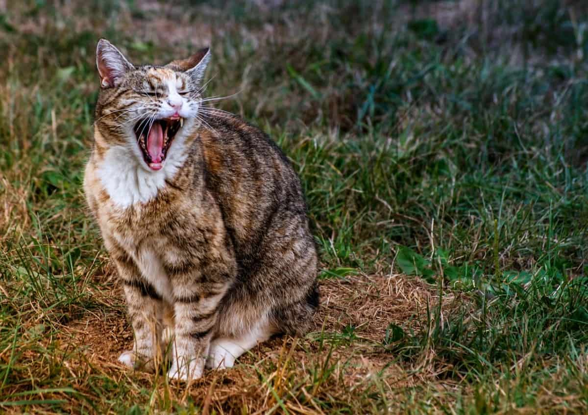 Aggressive Meowing In Cats