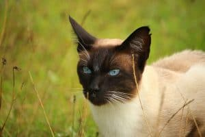 Siamese Cat Behavior Problems