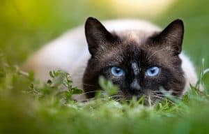 Siamese cat sounds meanings