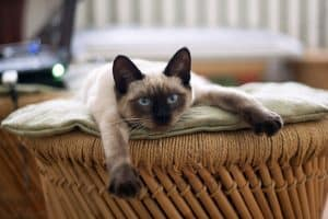 Siamese Cat Talking