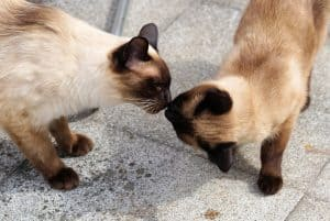 How to tell if your Siamese Cat Loves You
