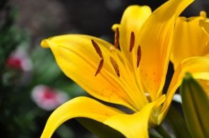 Are Oriental Lilies Poisonous to Cats?