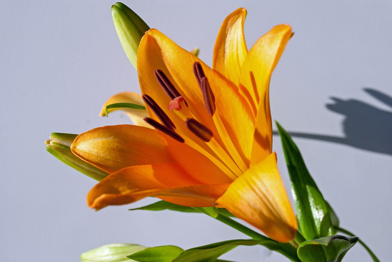 Are Tiger Lilies Poisonous to Cats