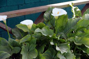 Are Calla Lilies Poisonous to Cats